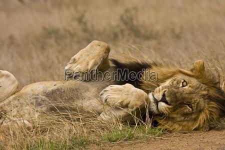 portrait of a sleeping lion