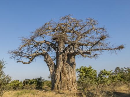 baobab tree in dry season kruger