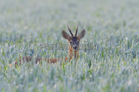 portrait of western roe deer capreolus