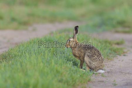 profile portrait of european brown hare