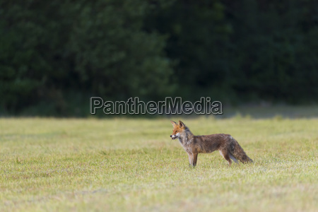 side view of a red fox