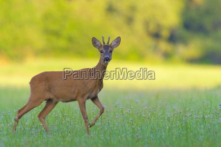 portrait of a western roe deer