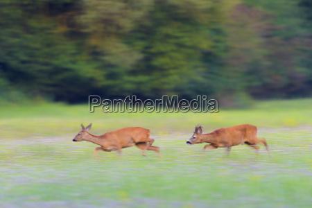 two western roe deers capreolus capreolus
