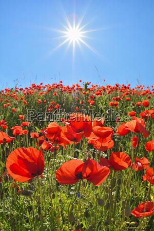 starburst of sun over a poppy