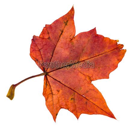 back side of red autumn leaf