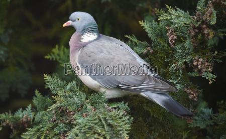 wood pigeon on tree of life