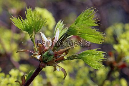 young foliage in norway maple acer