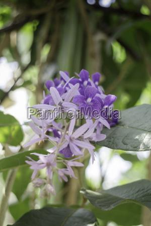 beautiful of purple petrea volubilis flower