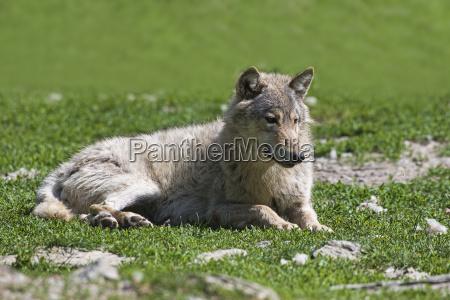 wildlife wolf 2729