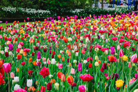 tulips in holland in spring