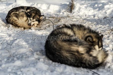siberian huskies sleeping on snowy field