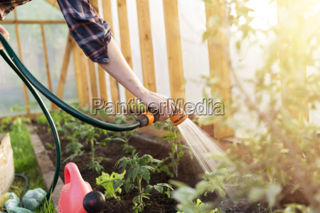 watering, seedling, tomato, plant, in, greenhouse - 24938872