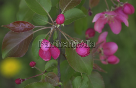 branch of blooming pink apple tree