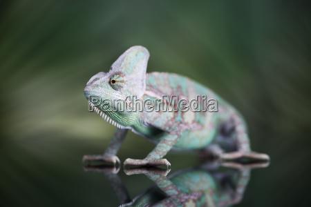 chameleon on green mirror background