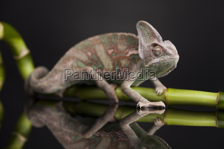 green chameleon on bamboo lizard background