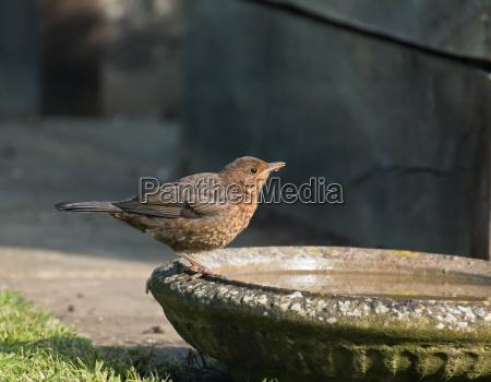 european blackbird fledgling drinking