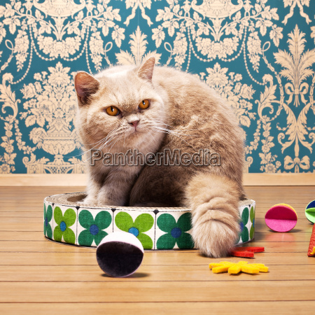 exotic shorthair cat looking away while