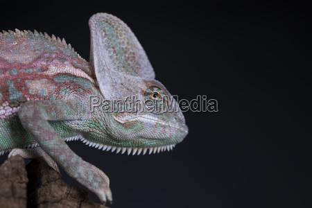 green chameleon on the root lizard
