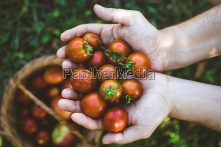 tomato harvest in autumn