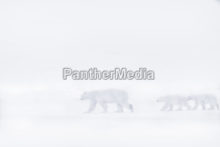 polar bear walking with her two