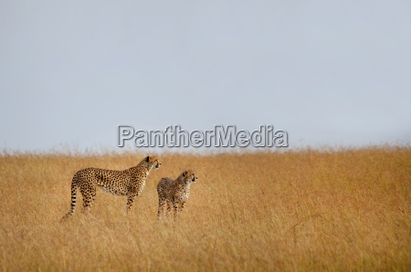 two cheetahs standing in the african