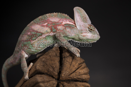 root green chameleon lizard background