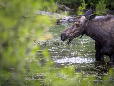 female moose alces alces grazing on