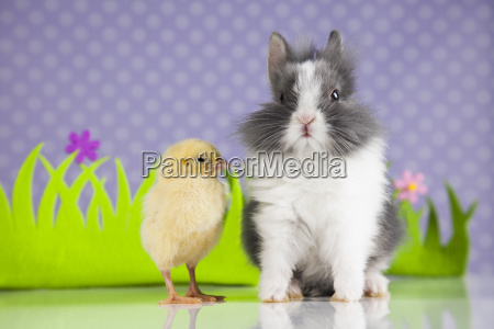 little chick on rabbit