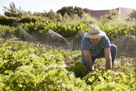 mature man harvesting beetroot on community