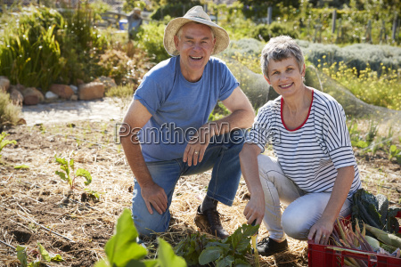 portrait of mature couple harvesting beetroot