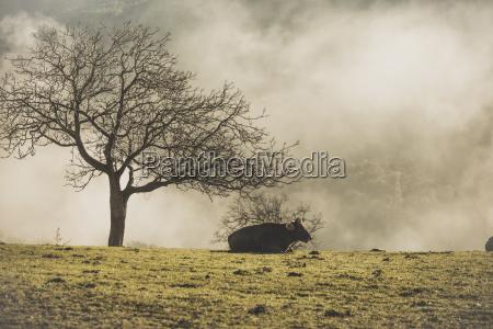 spain cow lying in a meadow