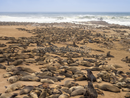 africa namibia cape cross seal reserve