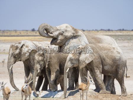 africa namibia etosha national park elefants