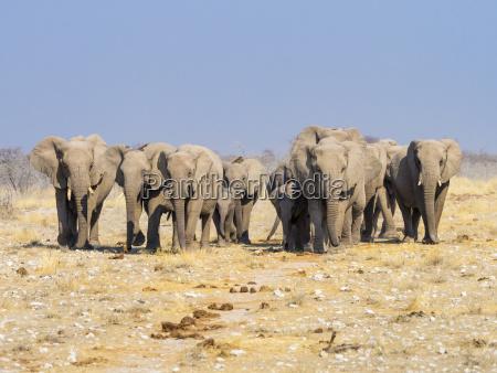 africa namibia etosha national park herd