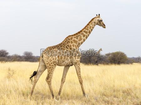 africa namibia etosha national park giraffe