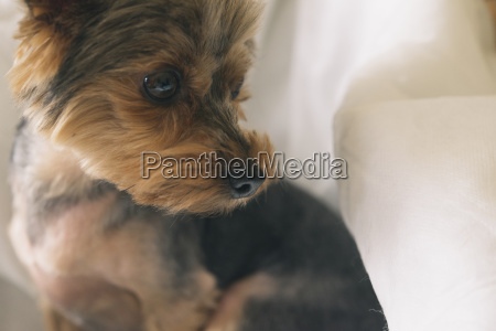 portrait of yorkshire terrier looking sideways