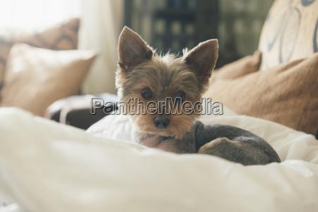portrait of yorkshire terrier lying on