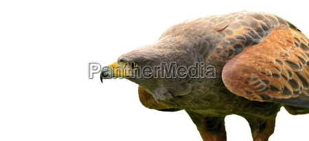 brown eagle isolated on white