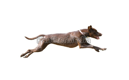 dog isolated at full pace in