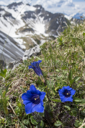 gentian flowers in the soier group