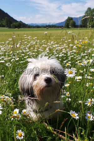 tibet terrier sits in the flower