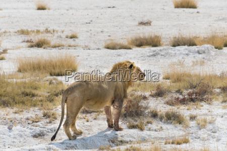 fully eaten lion panthera leo on
