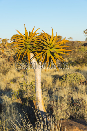 freestanding bucolic tree trees africa namibia