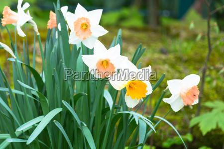 daffodil on a green meadow