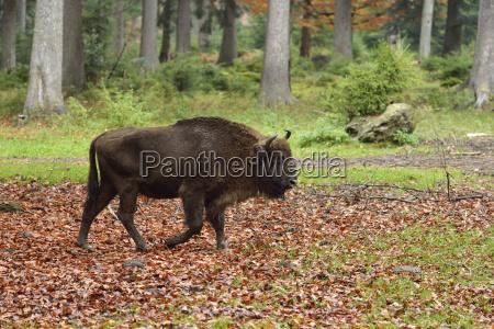 wisent or european bison bison bonasus