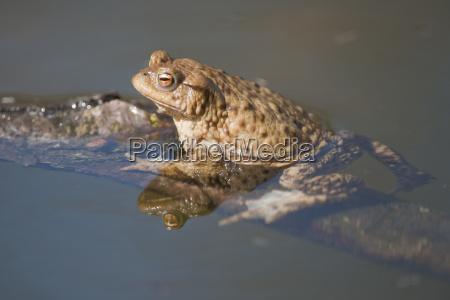 common toad bufo bufo sitting in