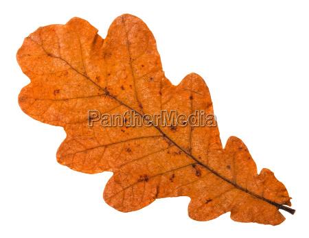 autumn fallen orange leaf of oak