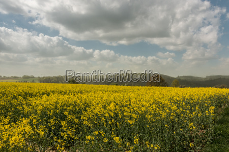 big fields of yellow rapeseed and