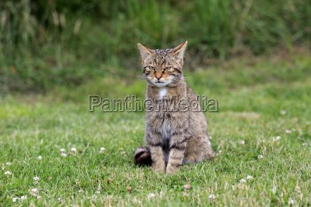 wildcat europaeisches17455