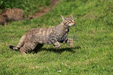 wildcat europaeisches17524